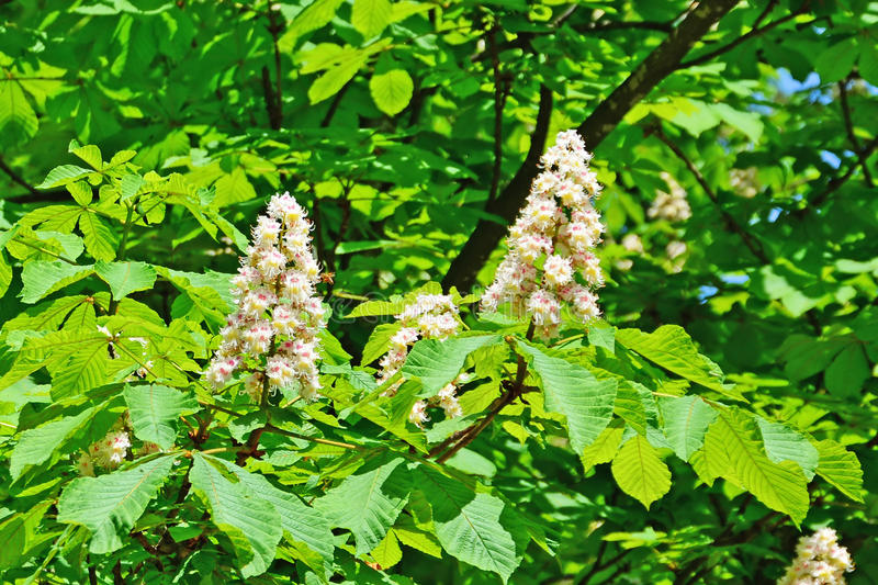 Horse chestnut in bloom. stock image