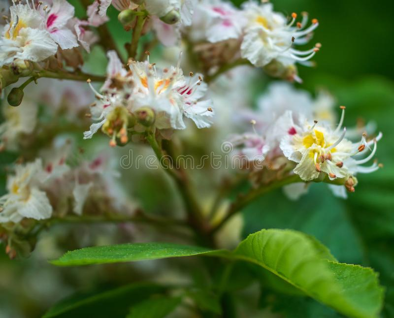 Horse chestnut flower with selective focus. Horse chestnut blossoming in springtime stock photos