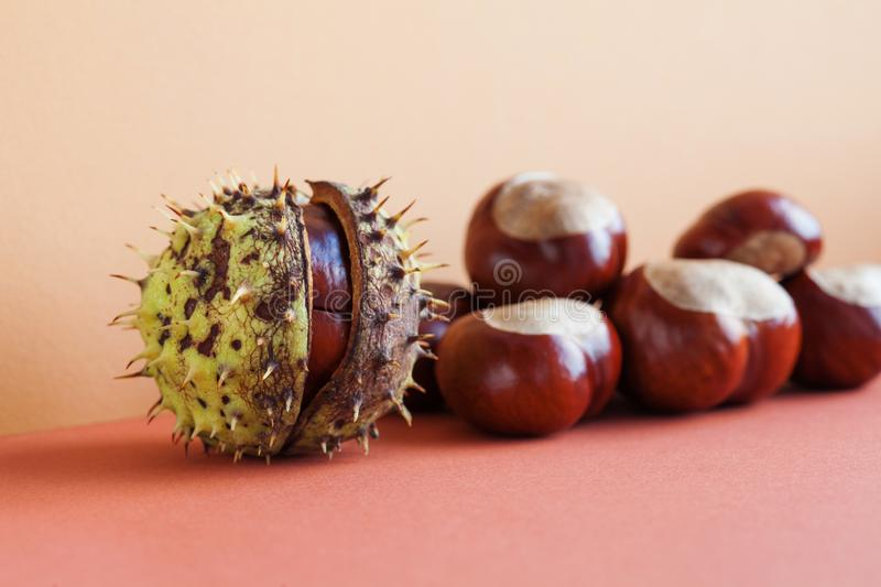 Horse chestnut seeds on red beige background. Autumn artistic still life with Aesculus hippocastanumon ripe Buckeye royalty free stock photography