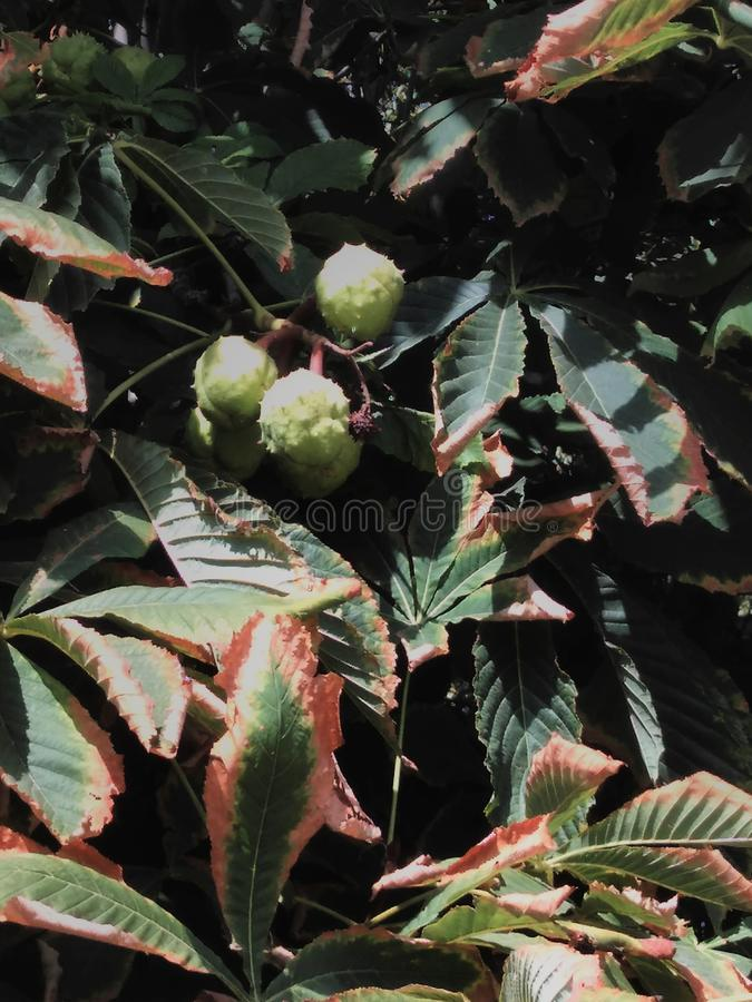 Horse chestnut seeds on the tree. royalty free stock images
