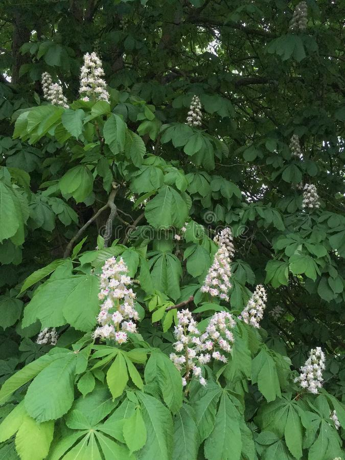 Horse Chestnut Tree in Flower royalty free stock photos