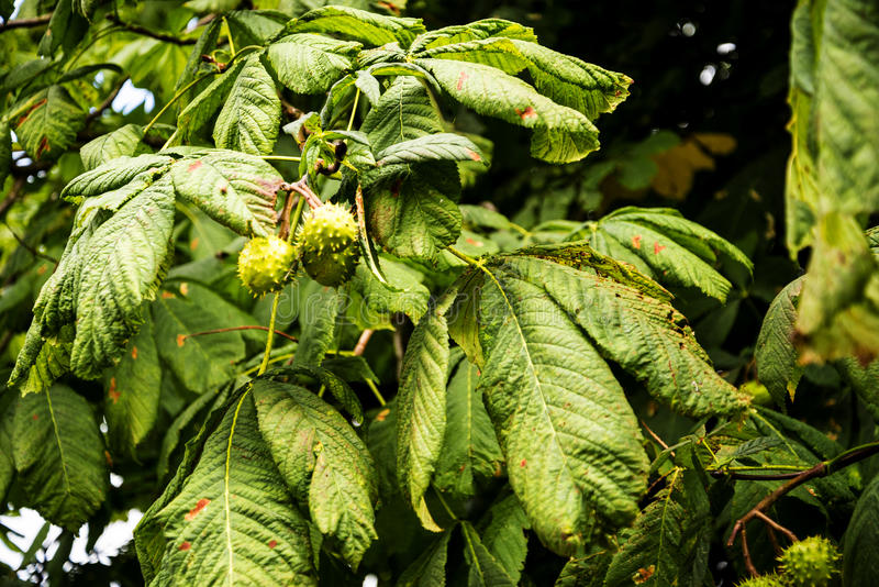Horse Chestnut Tree in the market town of Sandbach England. Sandbach has an important historical feature on the cobbled market square, two Saxon crosses that stock photos