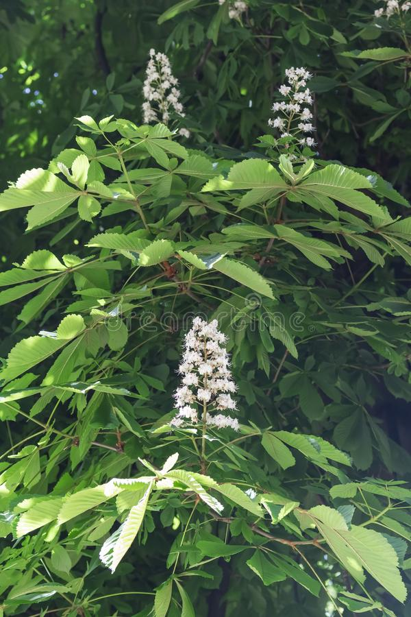 Horse chestnut white flowers on a branch with green foliage on royalty free stock image