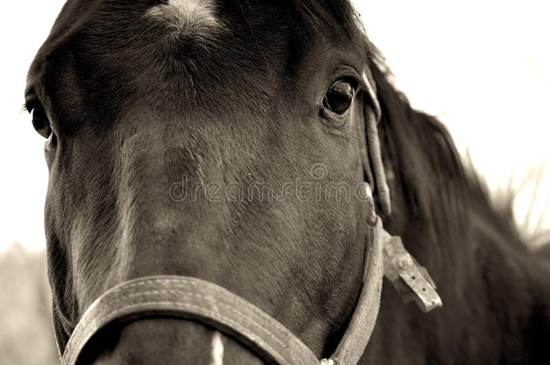 Horse Close-Up royalty free stock photo