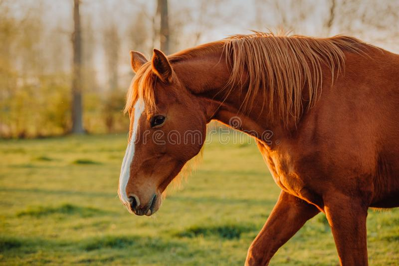 Horse close up portrait in motion on green meadow stock image