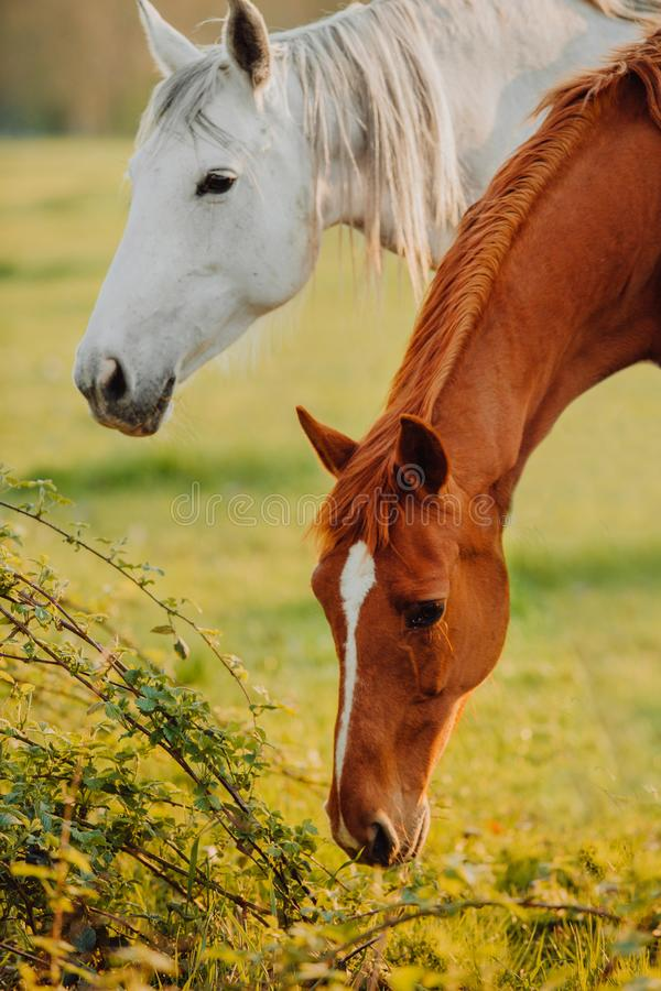 Horse close up portrait in motion on green meadow royalty free stock photo
