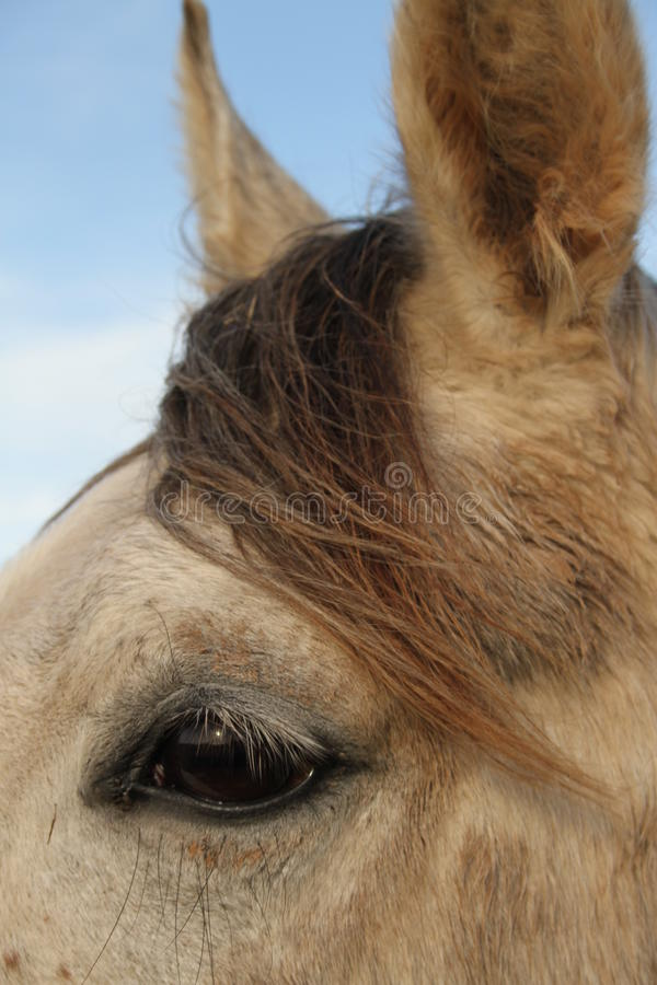 Horse close view of ears and eye. Close up of pony intelligent eye stock photo
