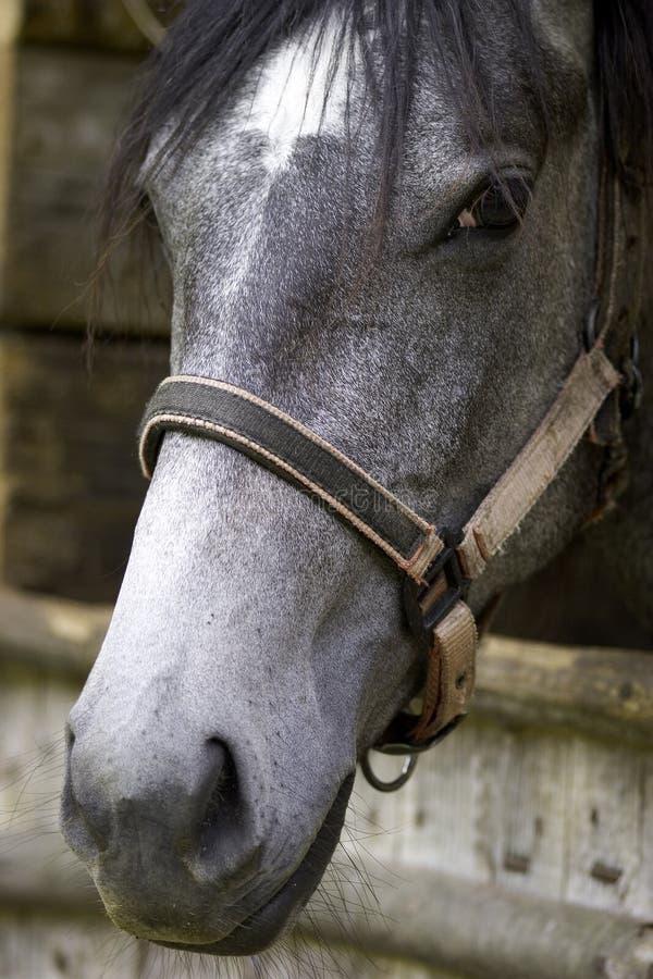 Horse closeup. Grey horse head with a strap - closeup royalty free stock photography