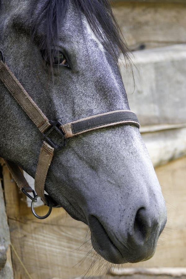 Horse closeup. Grey horse head closeup strap stock photos