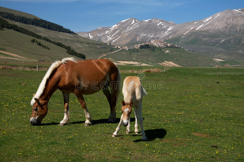 Horse and colt stock images