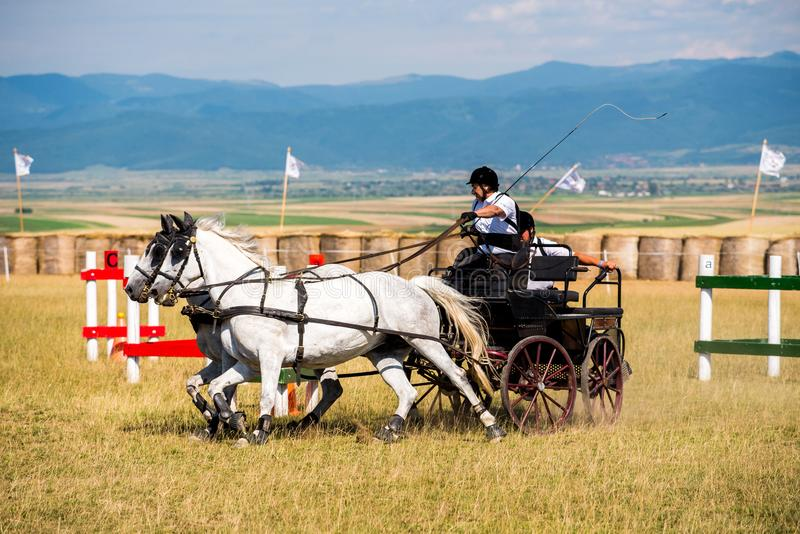 White horses contest with carriage and rider on the end turn of the track stock photo