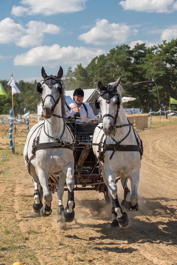 White horses contest with carriage and rider on the starting line front view stock image