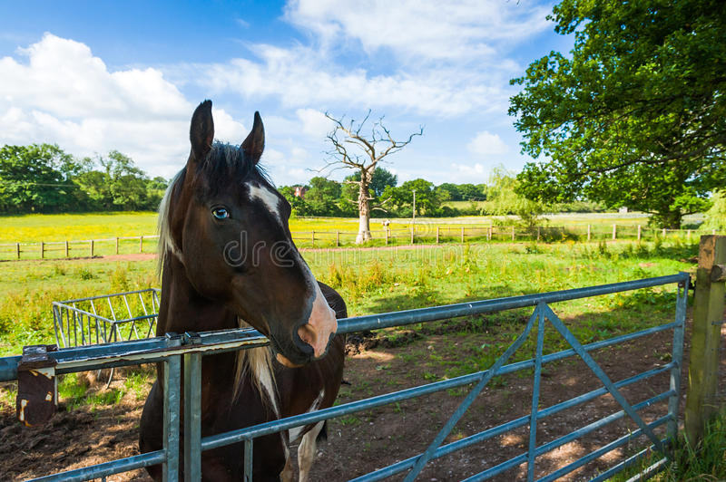 Horse in a corral. Close-up. Countryside landscape, West Midlands, UK royalty free stock photo