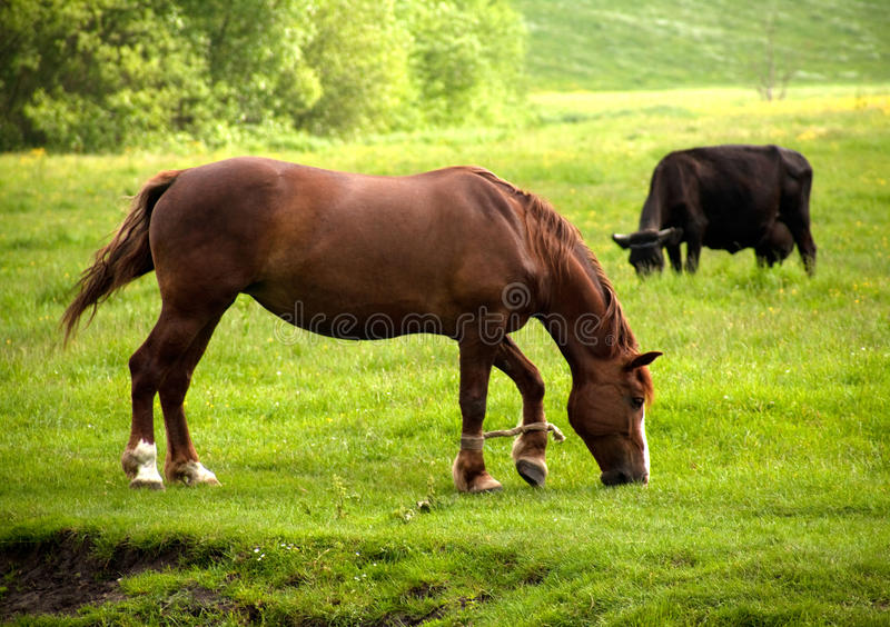 Horse and cow. Graze on the meadow royalty free stock image