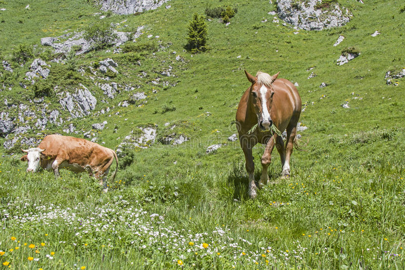 Horse and cow in an alpine meadow royalty free stock images