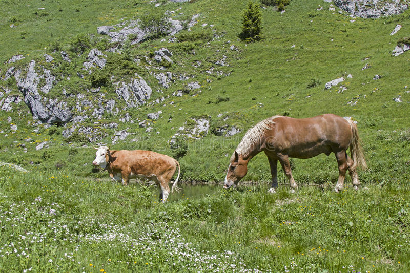 Horse and cow in an alpine meadow royalty free stock image