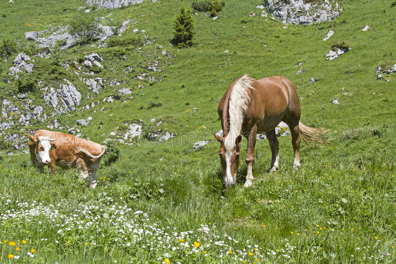 Horse and cow in an alpine meadow royalty free stock photo