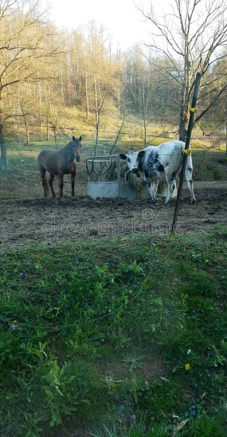 Horse and Cow Bestfriends, at Suppertime stock photography