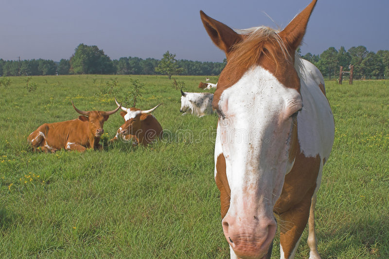 Horse and Cows. Farm Animals - A horse and longorn cattle royalty free stock image