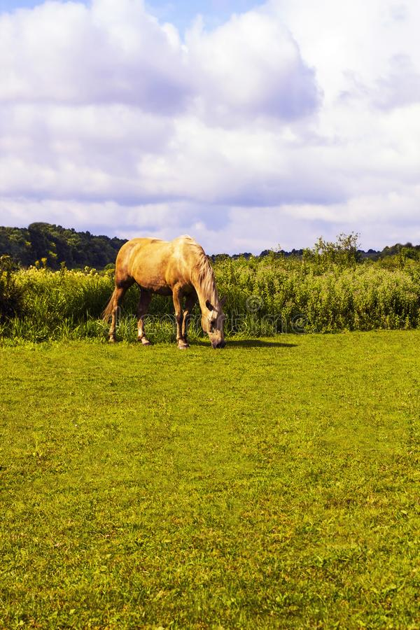 Horse white color grazing on green glade. Horse creamy color spotted grazing on green glade. Summer rural scene in village under cloudy blue sky. Scene of royalty free stock images