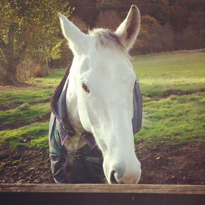 Horse dapple grey field country stock photography