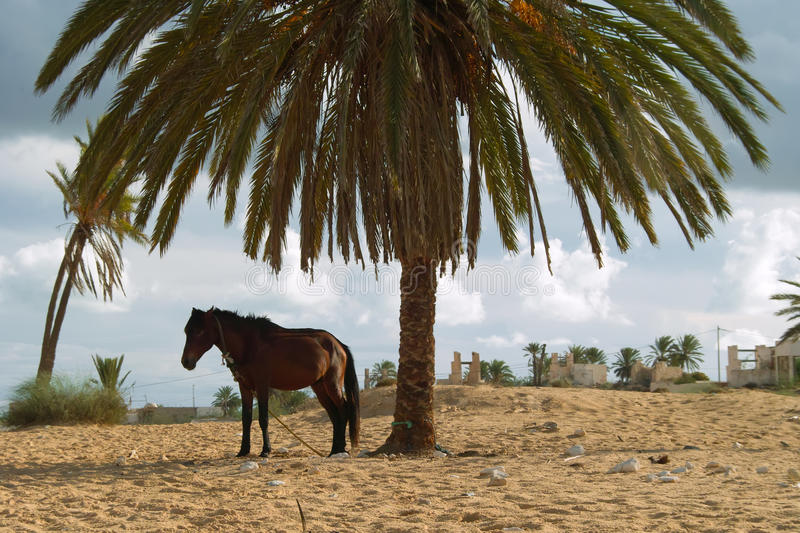 Horse with Djerba. Djerba largest island of North Africa's east coast near the border with Tunisia and Libya, with thousands of palm trees, almost completely royalty free stock image
