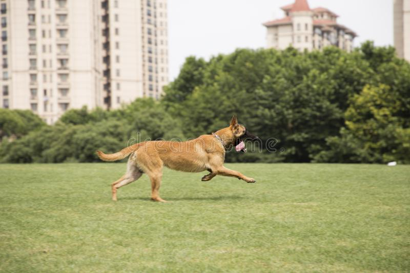 Belgian Malinois. The horse dog is one of the four short hairs of Belgium Belgian dog and Belgian shepherd dog. It is a famous ancient variety. It has been royalty free stock image