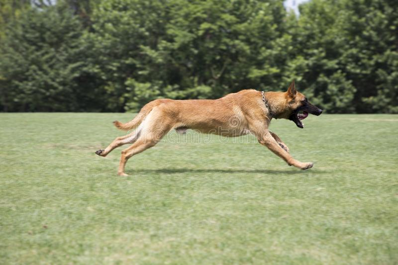 Belgian Malinois. The horse dog is one of the four short hairs of Belgium Belgian dog and Belgian shepherd dog. It is a famous ancient variety. It has been royalty free stock photos
