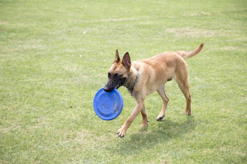Belgian Malinois. The horse dog is one of the four short hairs of Belgium Belgian dog and Belgian shepherd dog. It is a famous ancient variety. It has been royalty free stock images