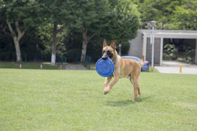 Belgian Malinois. The horse dog is one of the four short hairs of Belgium Belgian dog and Belgian shepherd dog. It is a famous ancient variety. It has been royalty free stock photography