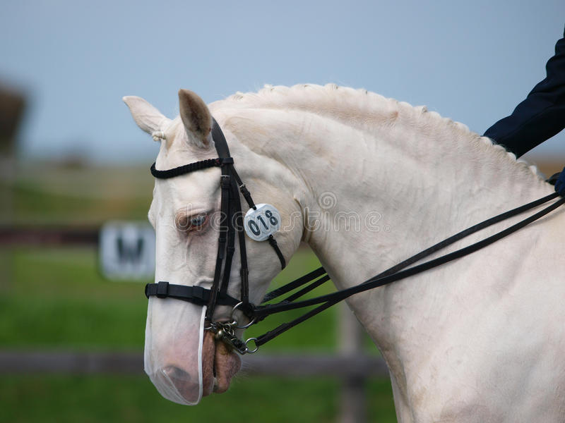 Horse Doing Dressage. A head shot of a grey horse during a dressage test royalty free stock images