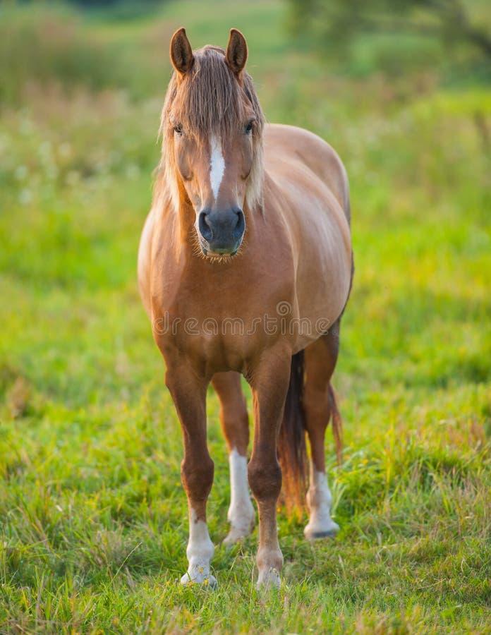 Horse. Domestic horses on summer pasture, summer season royalty free stock image