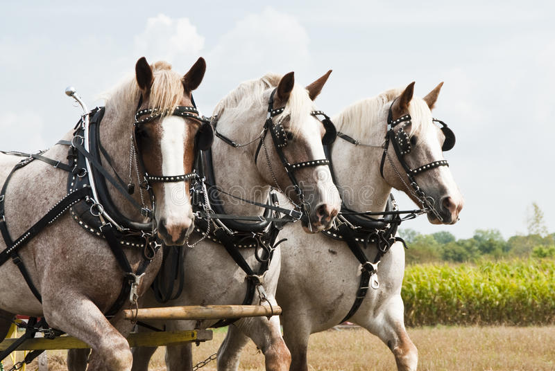 Horse-drawn farming demonstrations. During the Homesteader Day Harvest Festival at the Beaver Creek Nature Area in South Dakota stock photo
