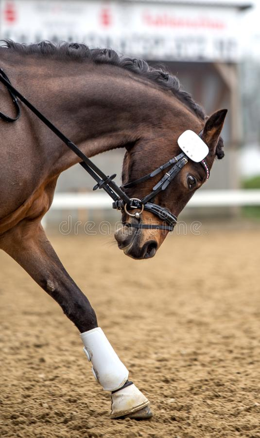 Horse dressage outdoors.  stock images