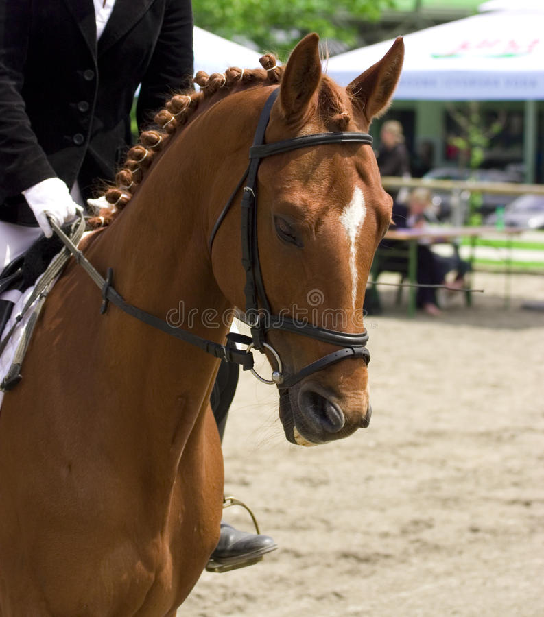 Horse dressage show. Horse in motion stock image