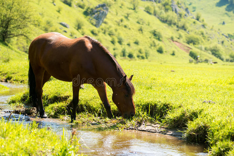 Horse drinking water near the river stock images