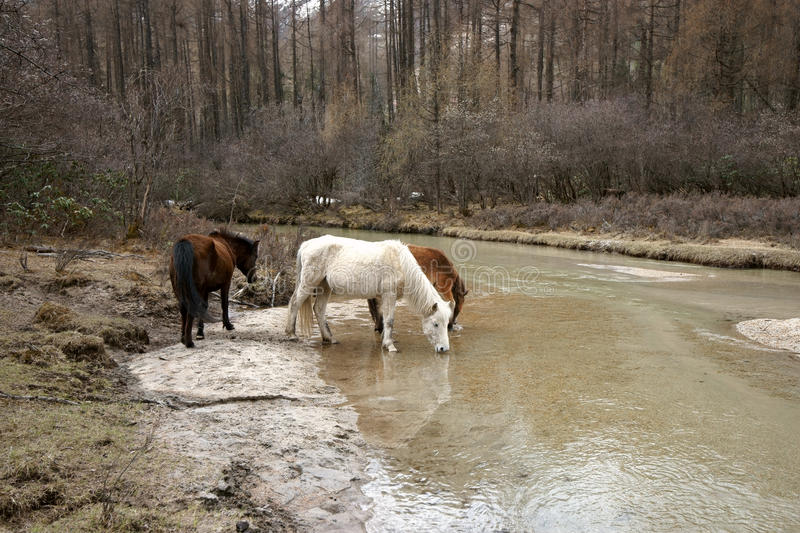 Horse drinking water by the river stock photo