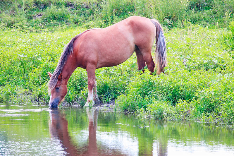 Horse drinking water from the river stock photos