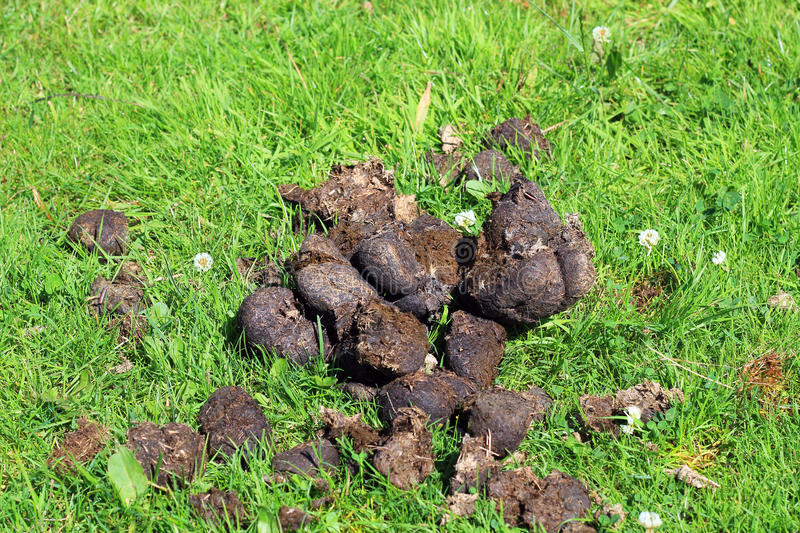 Horse dung or manure. A pile of horse dung or manure on green grass stock images