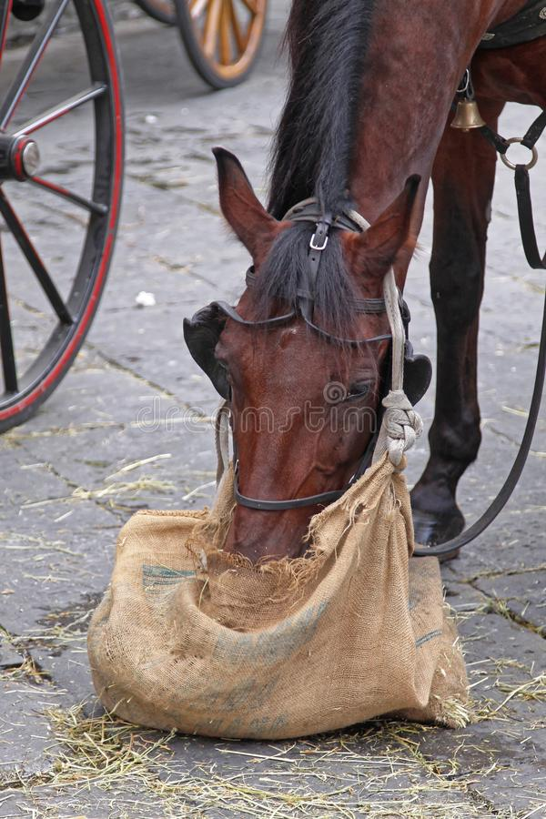 Horse Eat. Brown Horse Eating Straw From Sack at Street royalty free stock photography