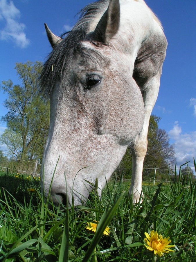 Horse eating dandelion stock photos