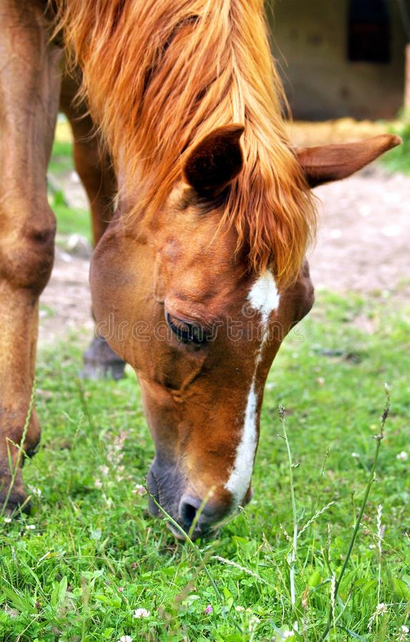 Download Horse eating a grass stock image. Image of farm, graze - 15469631