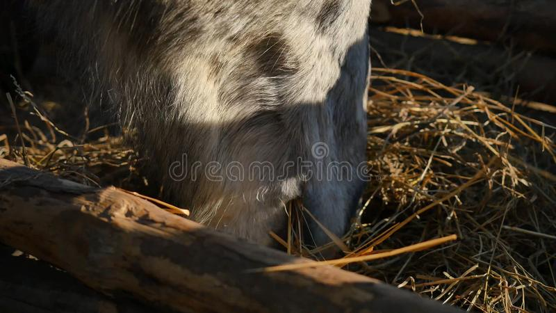 Horse eating grass. Well-groomed beautiful strong horse chewing hay, closeup stock images