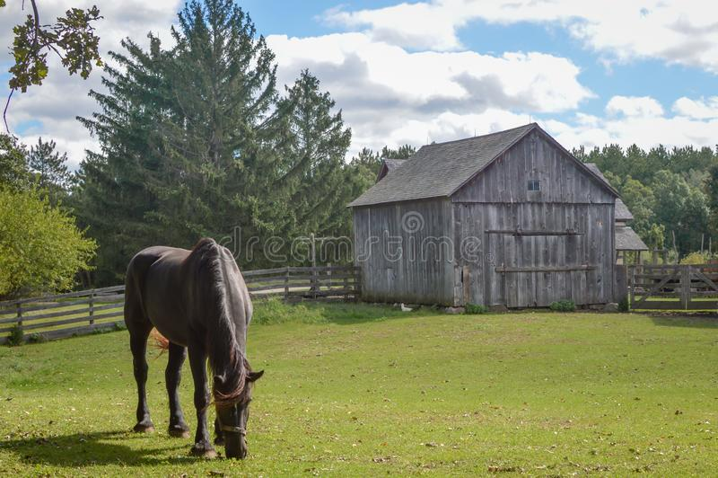 Horse Eating in Pasture by Wooden Barn and Fence stock photography