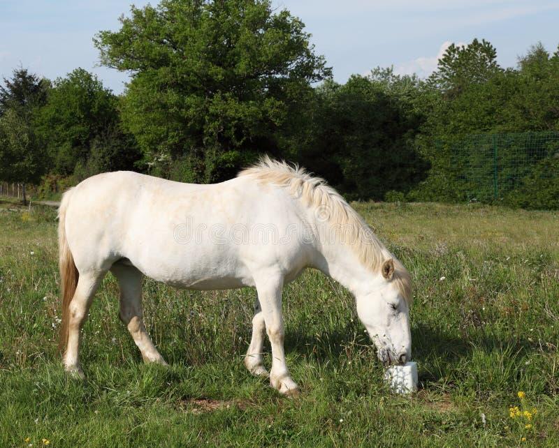 Horse Eating Salt Lick Stock Photos