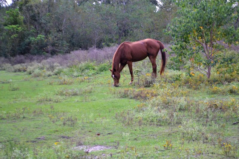 Horse, Ecosystem, Pasture, Grazing royalty free stock images