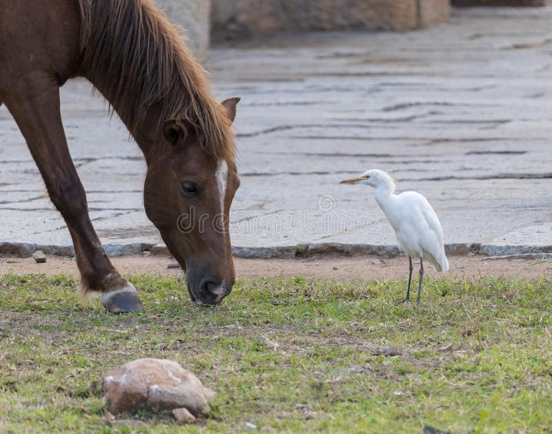 A view of horse grazing and egret seeing the horse stock photo