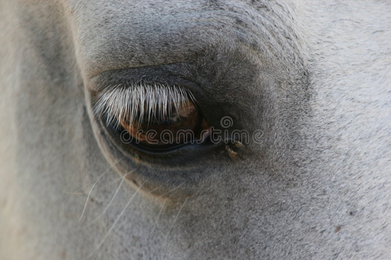 Horse eye. A young horse intense eye royalty free stock image
