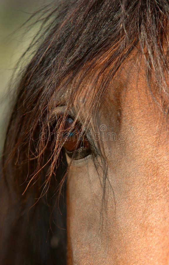Horse Eye. Arabian Horse Eye stock photos