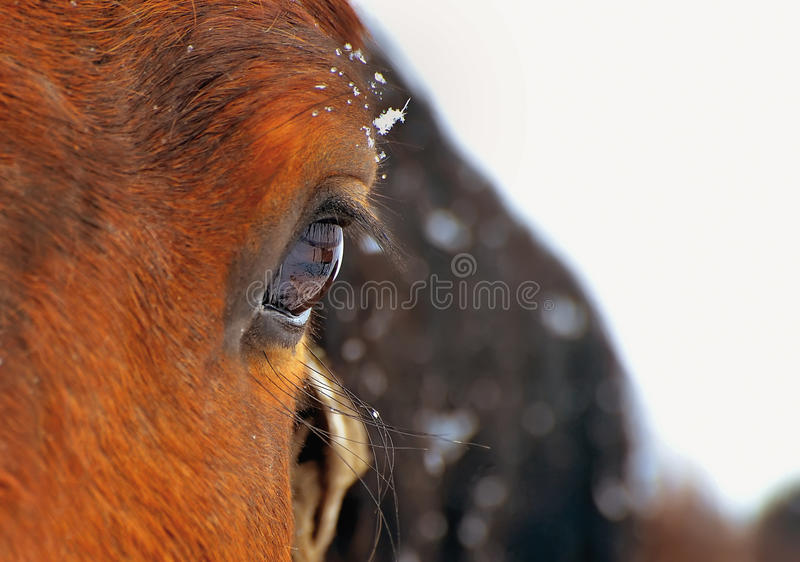 Horse eye. Detail of horse eye and snow flakes royalty free stock photos